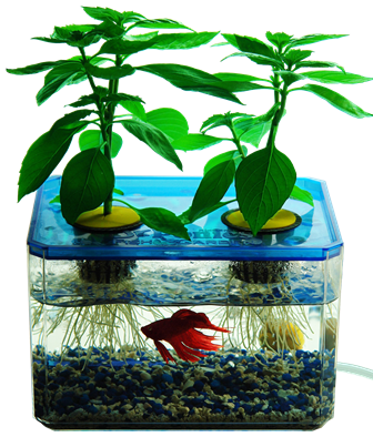 Eating Fish Poop Marijuana Aquaponics Vs Hydroponics