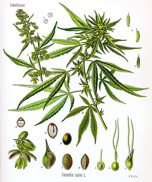 marijuana life cycle