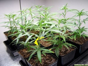 cannabis growing