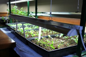 Fluorescent Lamps For Your Marijuana Grow Lights
