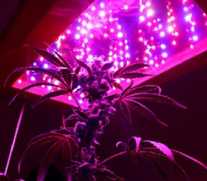 using led lights for cannabis grow lights. Black Bedroom Furniture Sets. Home Design Ideas