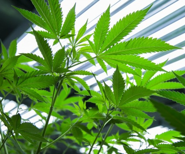 High-Quality Cannabis Growing Indoors