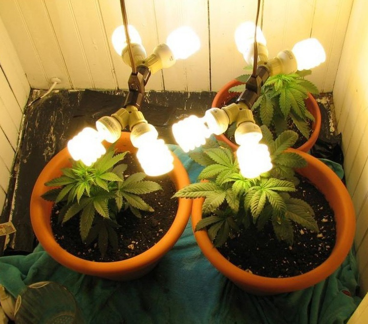 Cfl Lights For Weed Growing Indoors Green Cultured