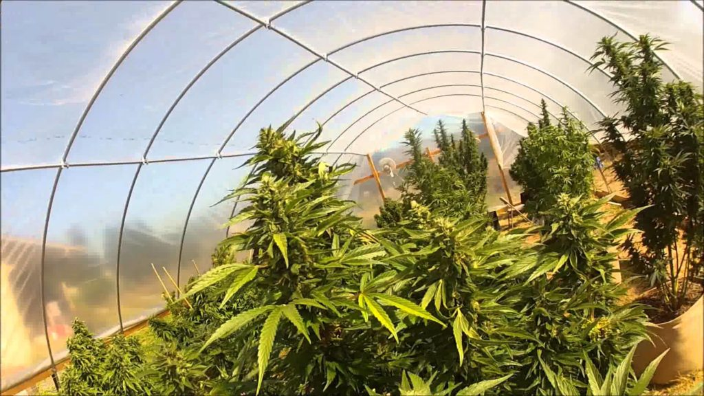 Excellent Grow Cannabis Using Greenhouse Coverings Green Cultured Download Free Architecture Designs Ogrambritishbridgeorg