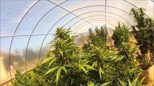 Grow Cannabis Using Greenhouse Coverings | Green CulturED