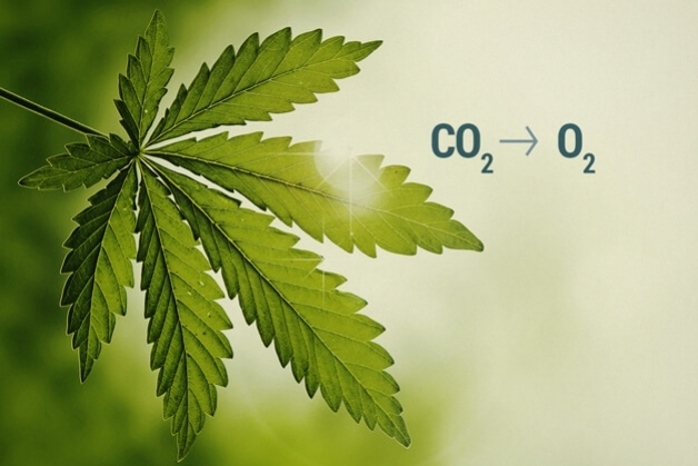 Use CO2 to Increase Cannabis Harvest Yield